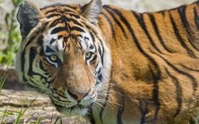 Картинка кошка, взгляд, морда, амурский тигр, ©Tambako The Jaguar