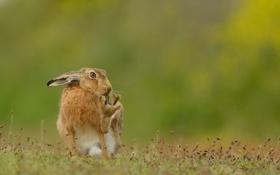 Обои природа, фон, Brown Hare