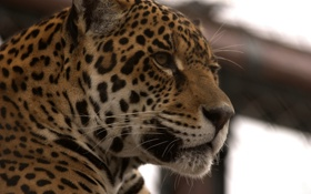 Обои морда, хищник, ягуар, дикая кошка