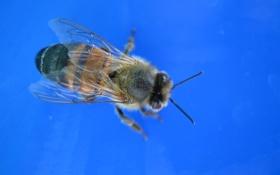 Картинка макро, природа, пчела, насекомое