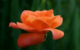 Обои зелень, цветок, роза, оранжевая