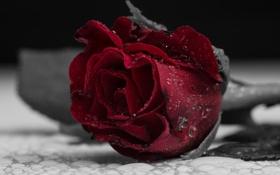 Картинка капли, лепестки, цвет, роза, цветок, красный, макро
