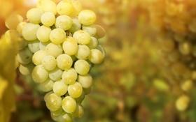 Обои гроздь, виноград, веточка