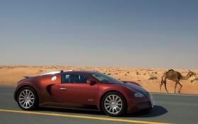 Картинка пустыня, верблюд, veyron, bugatti, бугатти, бордовый, вейрон