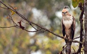 Обои лес, ветки, птица, Индия, Горный хохлатый орёл