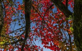 Обои багрянец, листья, осень, небо, ствол, дерево