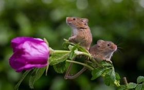 Обои мыши, роза, пара