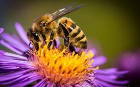 Картинка цветок, макро, пчела, пыльца