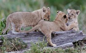 Обои трава, кошки, игра, коряга, львята, трио, детёныши