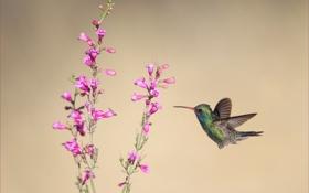 Картинка цветы, фон, птица, колибри
