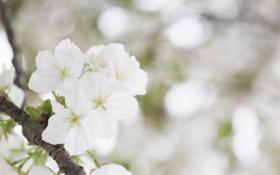 Обои белый, цветок, нежность, красота, весна, цветение