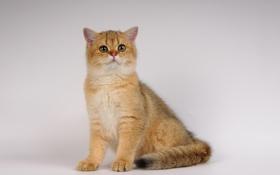 Картинка кошка, фото, глазки, неко, ушки