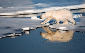 Обои острова, снег, лёд, медведь, белый мишка