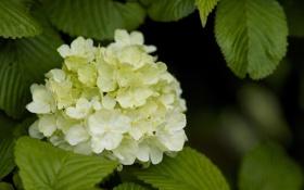 Обои листья, куст, белая, гортензия