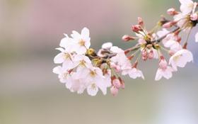 Картинка цветы, природа, вишня, ветка, весна, лепестки, сакура