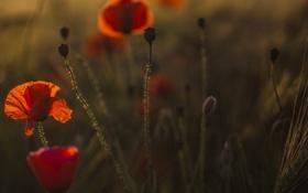 Картинка поле, цветы, маки, вечер, луг
