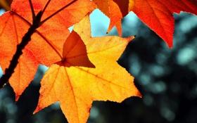 Обои листья, блики, желтые, красные, кленовые