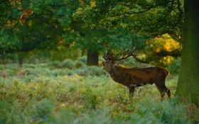 Картинка лес, поляна, Благородный олень
