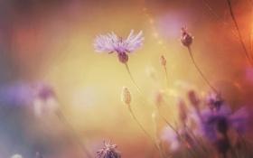 Картинка макро, цветы, природа, растение, васельки