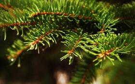 Картинка капли, иголки, вода, дерево, природа, macro, ветка