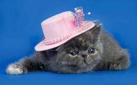 Картинка кошка, фон, шляпка