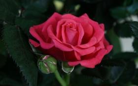 Обои листья, роза, лепестки, бутон, rose, цветение, leaves