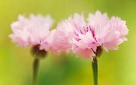 Обои макро, цветы, цвет, растения, лепестки, розовые, гвоздика
