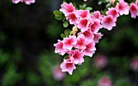 Обои колокольчики, Pink Flowers, розовые