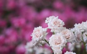 Обои нежность, розы, розовый куст