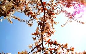 Картинка солнце, цветы, ветки, природа, дерево, лепестки, день