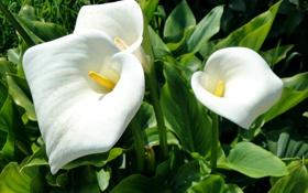 Обои зелень, листья, белые, крупным планом, Каллы