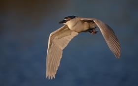 Картинка полет, фон, птица, серая цапля