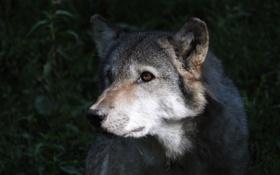 Картинка серый, волк, хищник, освещение