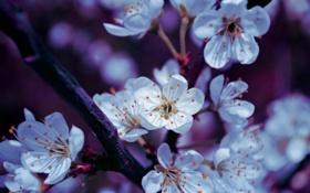 Обои цветы, ветка, весна, лепестки