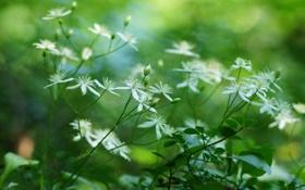 Картинка зелень, лето, макро, цветы, белые