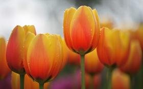 Картинка капли, макро, роса, лепестки, стебель, тюльпаны