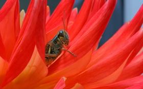 Обои растение, цветок, насекомое, кузнечик, лепестки