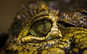 Обои макро, глаз, крокодил