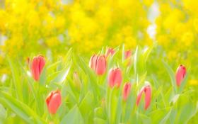 Обои Цветы, Тюльпаны, Розовый, Жёлтый, Зелёный