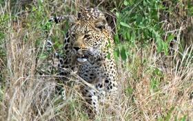 Обои морда, дикая кошка, кустарник, хищник, леопард