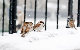 Картинка хлопья, воробьи, дорога, тротуар, снег, птицы