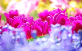 Обои цветы, colors, тюльпаны, summer, flowers, tulips, sunny