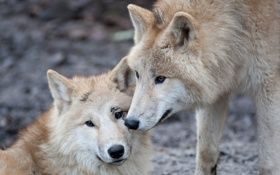 Картинка взгляд, хищники, пара, волки