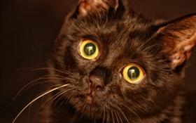 Картинка глаза, усы, взгляд, котенок, черный, нос