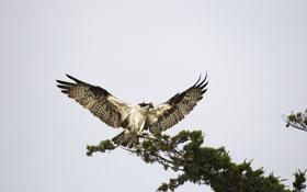 Обои птица, крылья, хищник, ветка