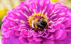 Обои макро, пыльца, Цветок, шмель, циния, puxa