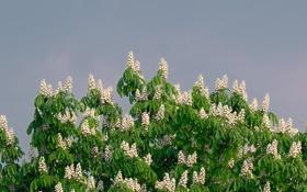 Обои небо, листья, цветы, дерево, каштан, соцветие