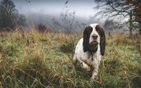 Картинка друг, собака, Mist, Spaniel