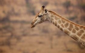 Обои шея, жираф, пятна