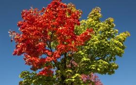 Картинка осень, небо, листья, ветки, дерево, багрянец